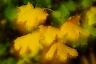 Soft autumn leaves by Patrick Morand