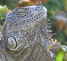 The thinking iguana - Iguana royal pensando by Bernhard Matejka