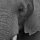 Elephant Portrait by JMChown