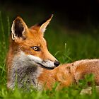 Fox by George Wheelhouse