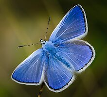 Common Blue Butterfly - Polyommatus icarus by Robert G Robson