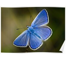 Common Blue Butterfly - Polyommatus icarus Poster
