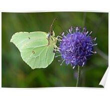 YWT Staveley, UK - Brimstone Butterfly Poster