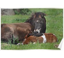 Shetland Pony Mare and Foal at Rest Poster