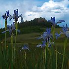 wild iris by Christine Ford