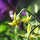 tomatoe flower bokeh by Christine Ford