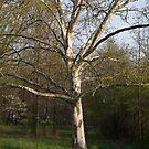 Tree in Indian Hill, Cincinnati OH by Rosestone