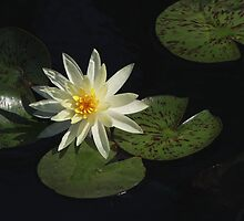 A Little Light in the Shade, White Water Lily by Robert Armendariz