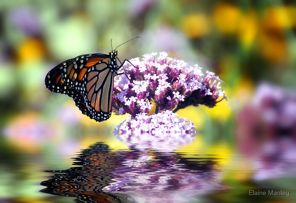September Monarch  by Elaine  Manley