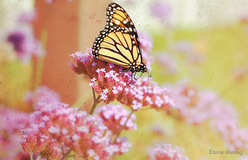 Monarch Butterfly  by Elaine  Manley