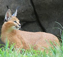 Caracal Concentration by Laddie Halupa