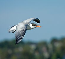 Caspian Tern in flight by Wayne Wood