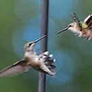 Hummingbirds Fighting ~ Please watch the Video! by barnsis