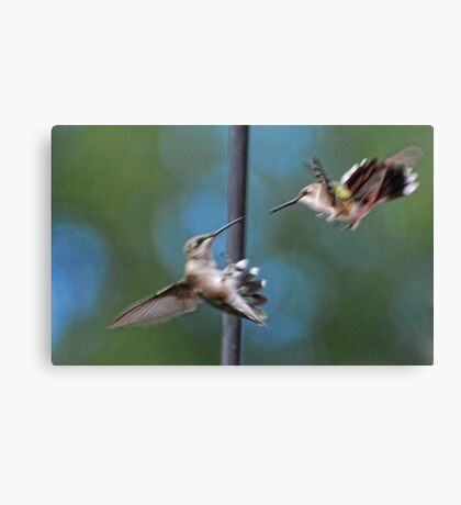 Hummingbirds Fighting ~ Please watch the Video! Canvas Print