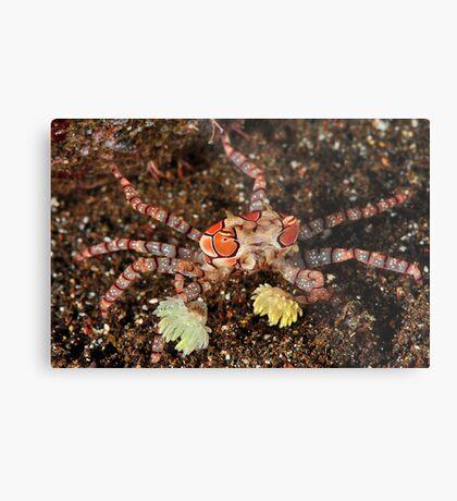 Boxer Crab Metal Print