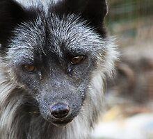 Silver Fox by Alyce Taylor