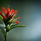 Indian Paintbrush  by RaynePhoto