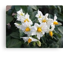 Blossoms White And Yellow Garden Blossoms Canvas Print
