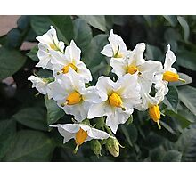 Blossoms White And Yellow Garden Blossoms Photographic Print
