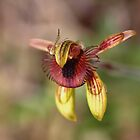 Caladenia discoidea - Dancing Spider Orchid by kalaryder
