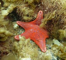 Brick-red Sea Star (Anthaster valvulatus) - Black Point, South Australia by Dan & Emma Monceaux