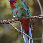 Juvenile Eastern Crimson Rosella - A Face Only a Mother Could Love by Jacqueline  Murphy