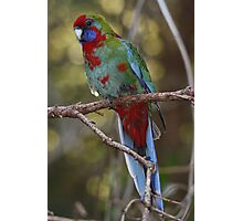 Juvenile Eastern Crimson Rosella - A Face Only a Mother Could Love Photographic Print