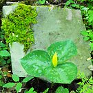 Trillium luteum by Gary L   Suddath