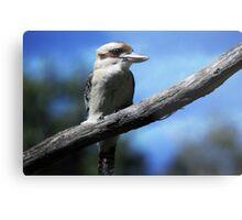 Kookaburra sitting in an old gum tree . . .  Metal Print
