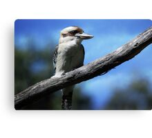 Kookaburra sitting in an old gum tree . . .  Canvas Print