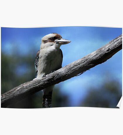 Kookaburra sitting in an old gum tree . . .  Poster