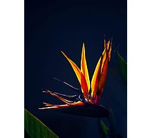 Golden Glow - Bird of Paradise Photographic Print
