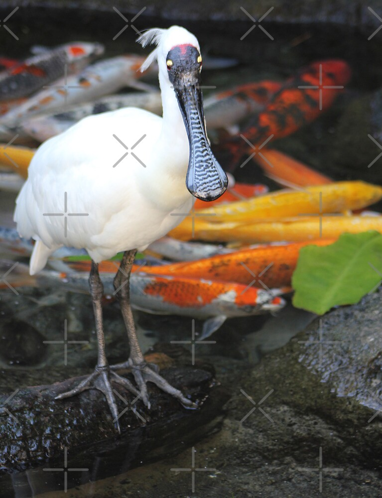 Spoonbill and Koi by Rookwood Studio ©