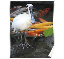 Spoonbill and Koi Poster