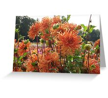Bed head Dahlias at Canby  Greeting Card