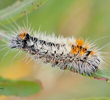 Impressed Dagger Moth  (Acronicta impressa) by DigitallyStill