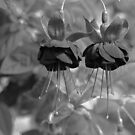Fuchsia in mono by Audrey Clarke