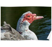 Muscovy Duck ~ Mangerton Mill Poster