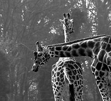 Giraffes in Dublin Zoo by Dave  Kennedy