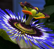 Passion flower by franceslewis