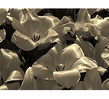 silky tulips Photographic Print