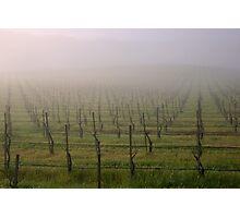 Morning Vineyard  Photographic Print