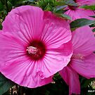 Hibiscus Wonder .... by Mechelep