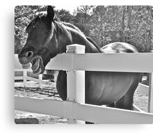 Humorous shot of gorgeous Andalusian horse Canvas Print