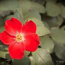 Red Hot Flower by Krysanthium