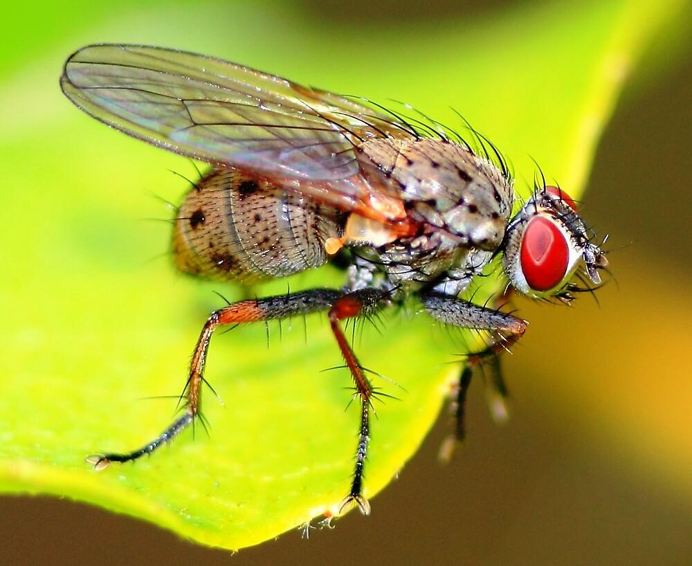 Macro Shot of Fly by ramaniqbal