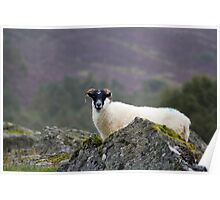 Highlands Sheep Poster