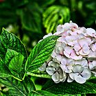 Hydrangea (HDR) by Ian Richardson