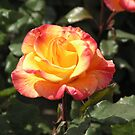 Red Yellow Rose #1 by Sandra Gray