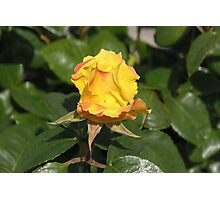 Yellow Rose Bud #2 Photographic Print